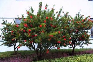 Top 10 Mediterranean Low Maintenance and High Yield Trees ... Pomegranate Trees In Garden Design on japanese maple tree garden, peony tree garden, white tree garden, orange tree garden, cherry tree garden, mango tree garden, grape tree garden, apple tree garden, olive tree garden, fruit tree garden, tea tree garden, orchard tree garden, peach tree garden, pine tree garden, lilac tree garden, pepper tree garden, rose tree garden, coconut tree garden, guava tree garden, raspberry tree garden,